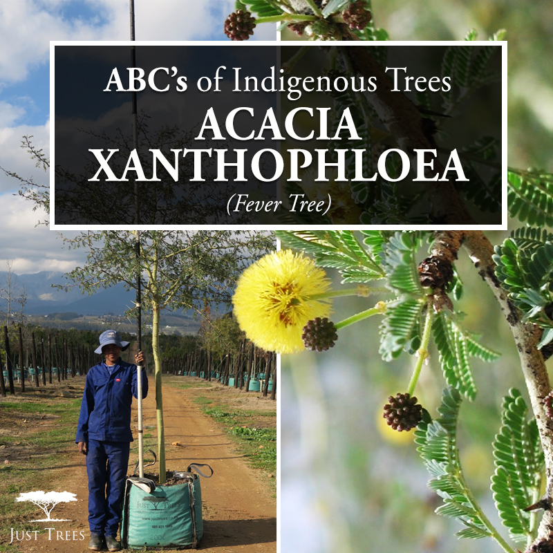 Types of trees acacia xanthophloea fever tree treeification types of trees acacia xanthophloea fever tree mightylinksfo