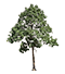 Just Trees: Ficus sur